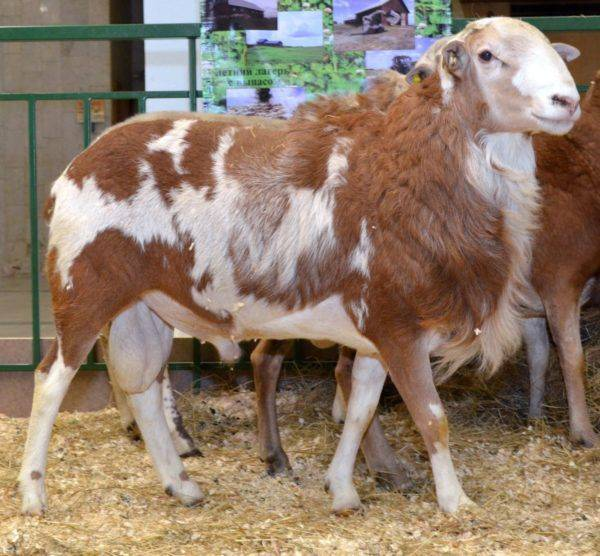 Катумские овцы: описание породы и особенности содержания