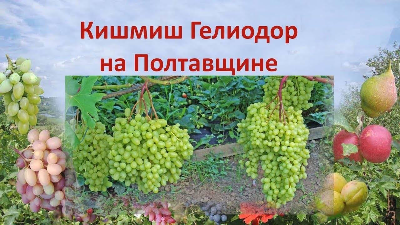 Описание винограда сорта памяти негруля и характеристика, история и выращивание