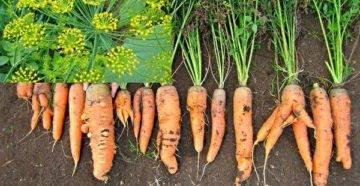 Обзор и описание ранних сортов моркови