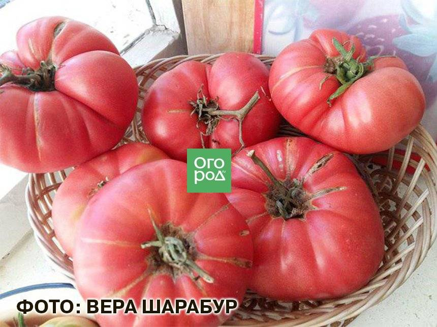Сорт помидоров «розовый мясистый»: фото, отзывы, описание, характеристика, урожайность