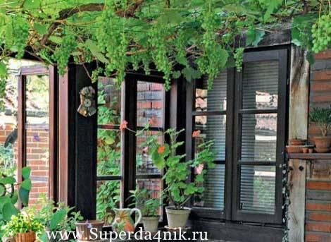 Сорта винограда для выращивания в квартире и уход в домашних условиях
