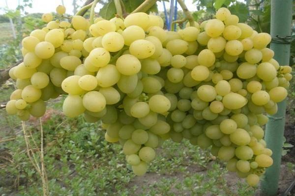 Какие бывают сорта винограда? сортировка по алфавиту