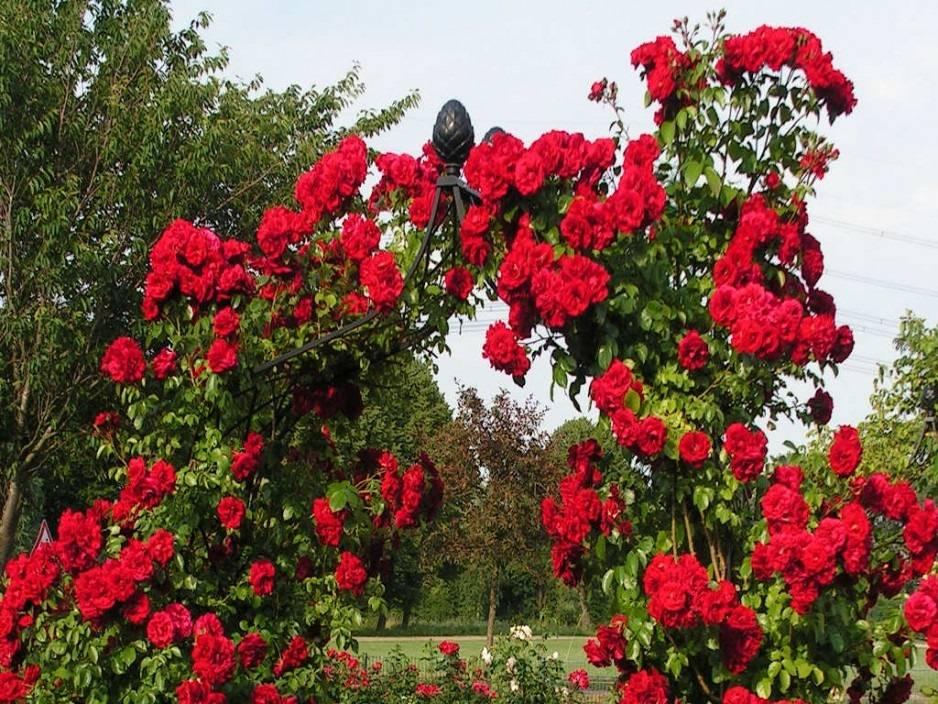 Описание сорта розы сантана, посадка и уход в открытом грунте