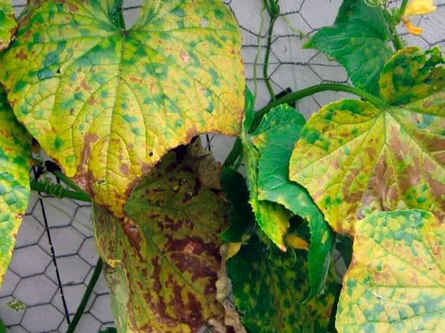 Пожелтение огурцов в теплице: причины, лечение, профилактика