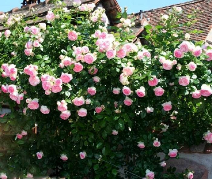 Посадка и уход за неприхотливой розой пьер де ронсар
