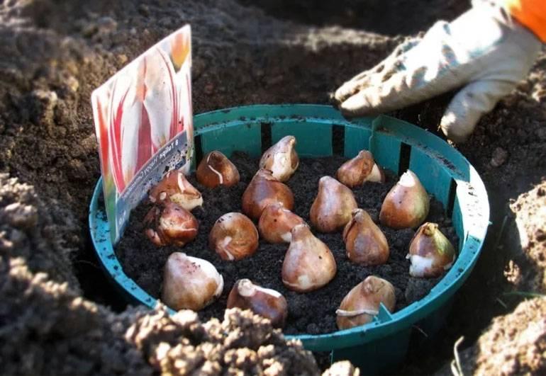 Когда и как нужно сажать тюльпаны в разных регионах, сроки