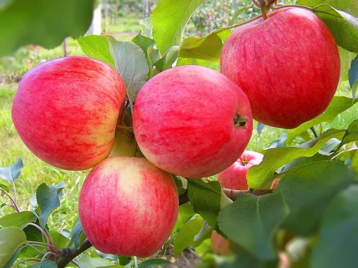 Яблоня сибирская и 11 лучших морозоустойчивых сорта для сибири