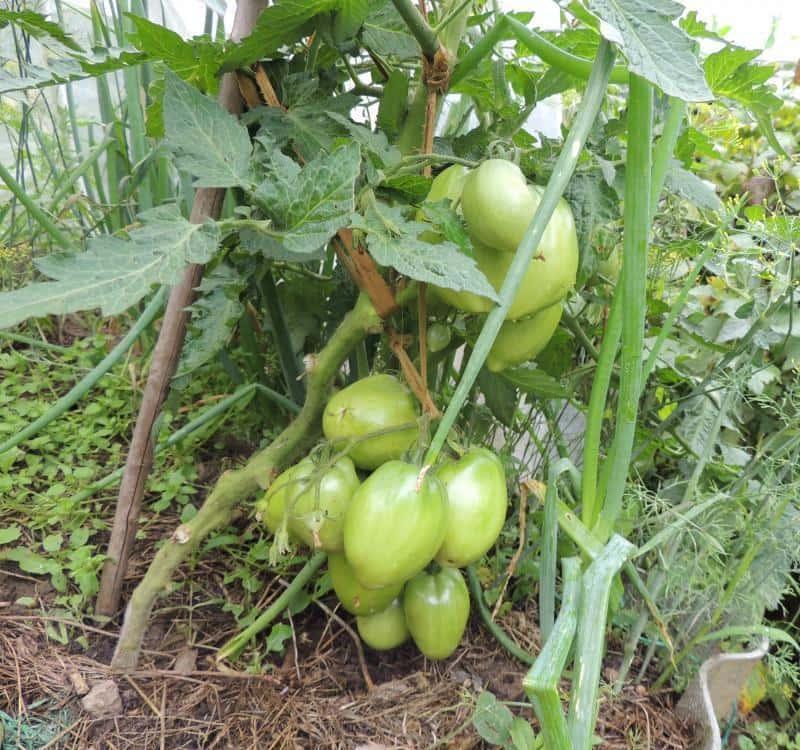 Сорт томата «петруша огородник»: описание, характеристика, посев на рассаду, подкормка, урожайность, фото, видео и самые распространенные болезни томатов