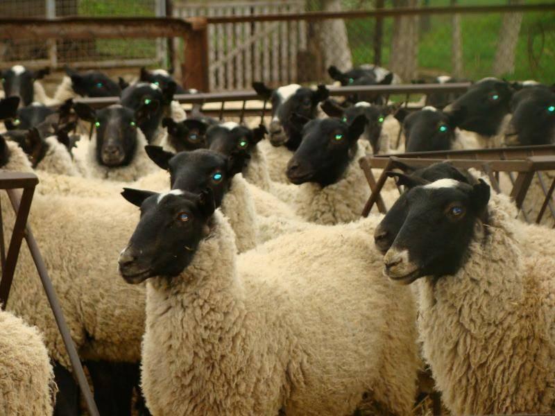 Причины развития овцеводства в Австралии и лучшие породы, размер поголовья