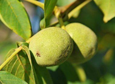 Важная процедура при выращивании грецкого ореха — увлажнение. как часто нужно поливать и как это делать?