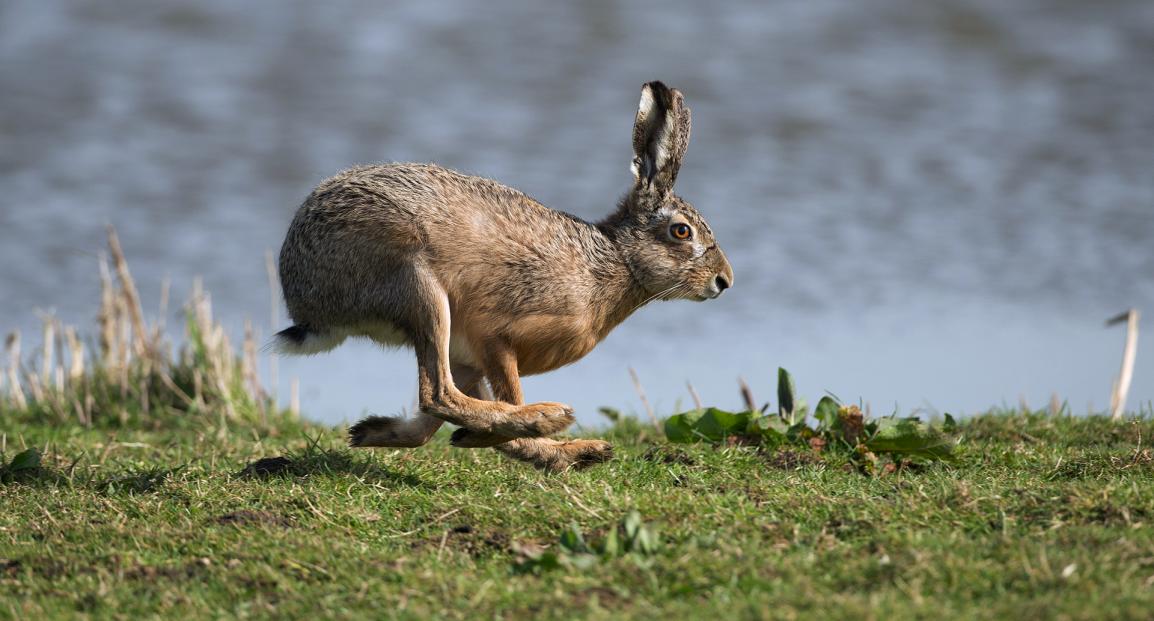 Чем отличается кролик от зайца?