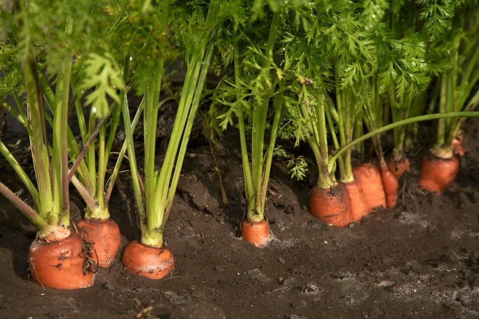 Полив моркови: как часто и чем