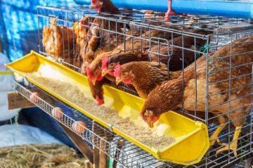 Сколько в день может нести курица яиц, когда несется лучше