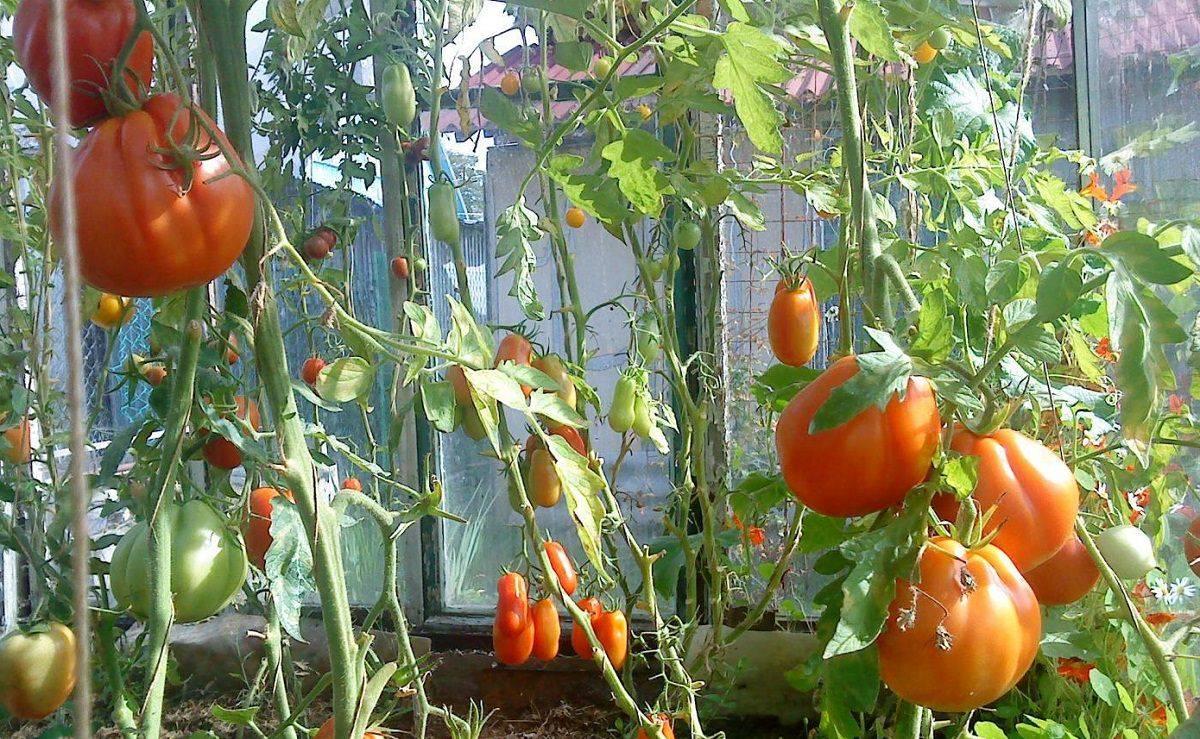 Высокоурожайный сорт ароматных томатов «сто пудов»