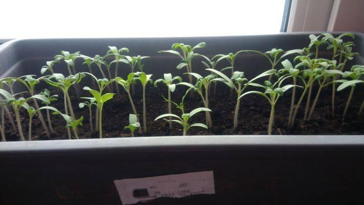 Сроки посева помидоров на рассаду в Сибири