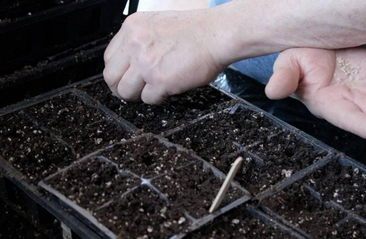Особенности выращивания томатов по методу терехиных