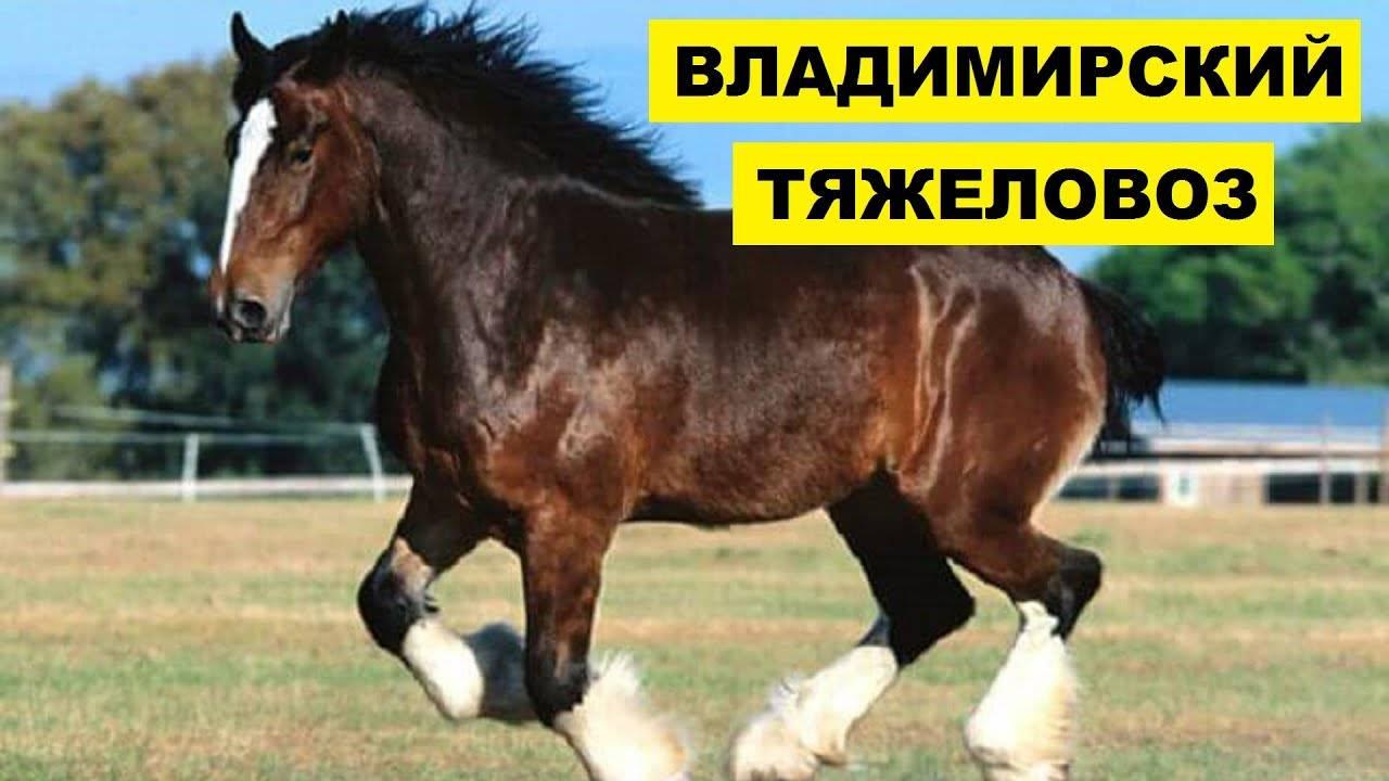 Лошадь шайр: описание породы, фото, содержание и уход