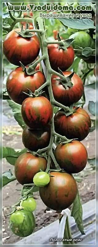 Характеристика и описание сорта томата полосатый рейс, отзывы огородников