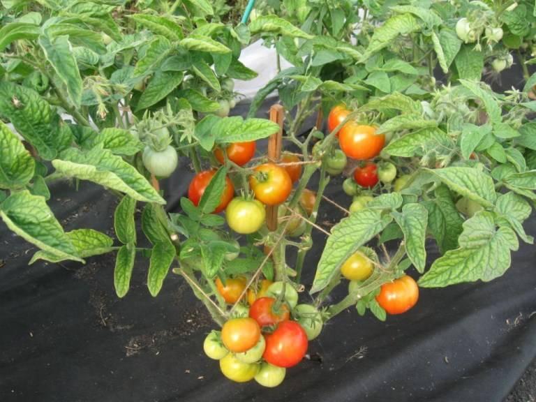 Выращивание томатов сорта взрыв, характеристика и описание