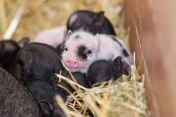 Все о декоративных карликовых свиньях: описание пород, особенности