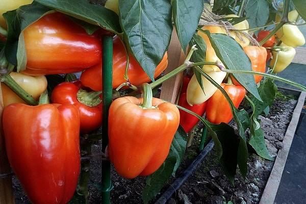 Раннеспелый и высокоурожайный гибрид перца «калиф» (халиф) от японских селекционеров