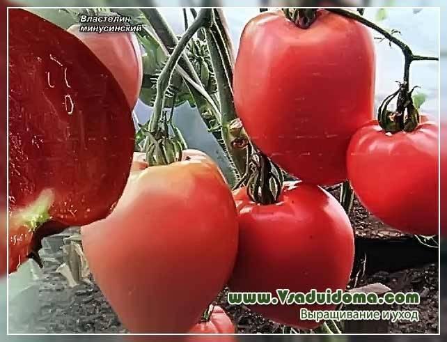 Характеристика и описание сорта томата быстренок, его урожайность