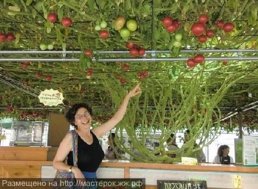Как вырастить помидорное дерево