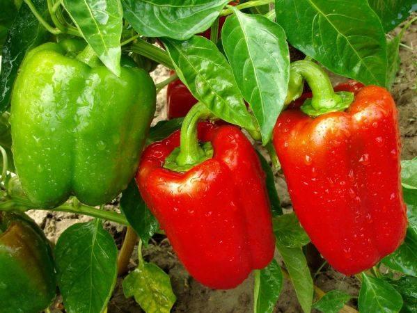 Как правильно поливать перец после высадки открытый грунт