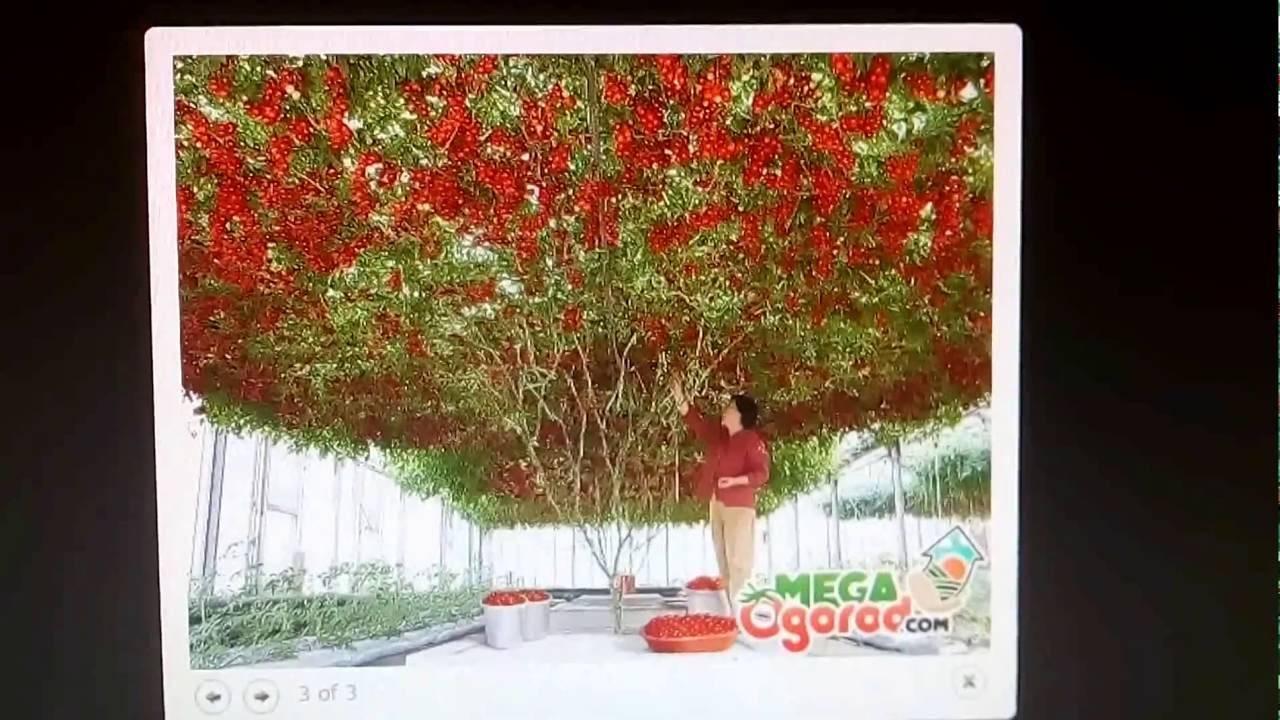 Выращивание томатного дерева спрут в открытом грунте: правила ухода и формирования