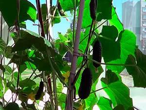 Сорта огурцов для выращивания дома на подоконнике или балконе (лоджии) зимой, весной, летом и осенью