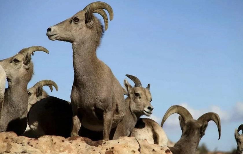 Алтайская порода овец: продуктивность, особенности содержания и выращивания