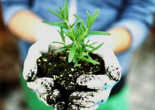Как выращивать розмарин в открытом грунте и особенности ухода