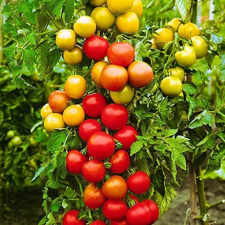 Лучший среди ранних гибридов – урожайный помидор катя f1