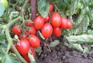 Томат пабло: описание сорта, урожайность и выращивание с фото