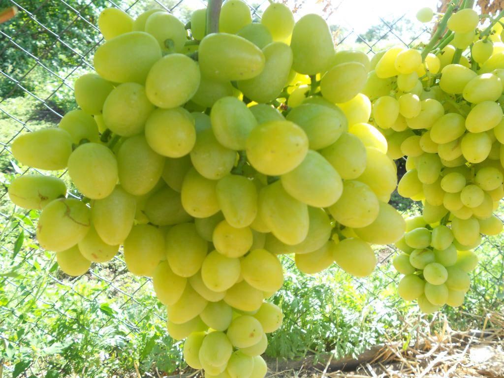 Сорт винограда викинг — описание сорта, особенности посадки и выращивания