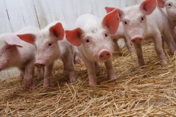 Симптомы и причины появления болезни ауески у свиней, методы лечения