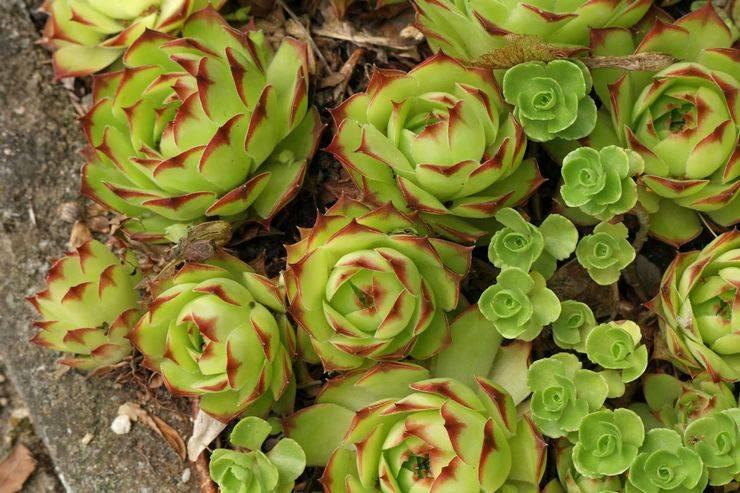 Молодило каменная роза: описание и правила ухода