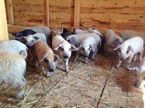 Содержание породы свиней дюрок — плюсы и минусы