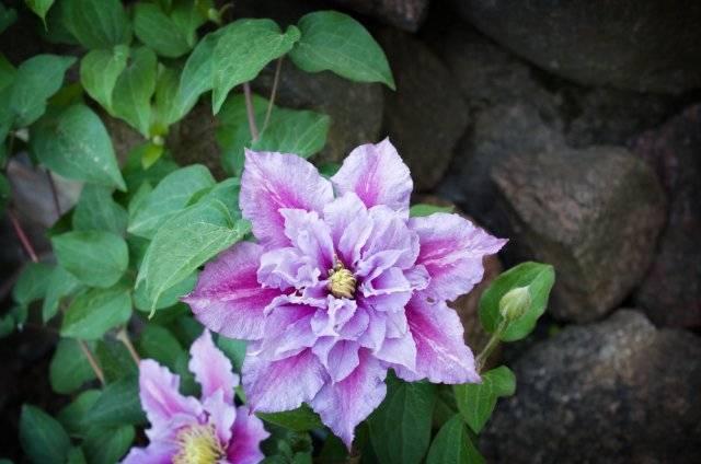Когда цветет клематис, что такое группы обрезки