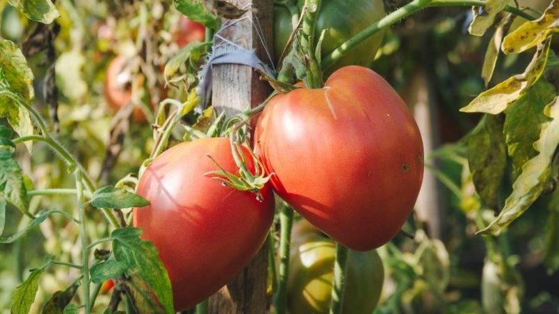 Крупноплодный сорт с деликатным вкусом для диетического питания — томат «царь колокол»