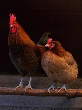 Как выбрать курицу на рынке, чтобы не навредить здоровью