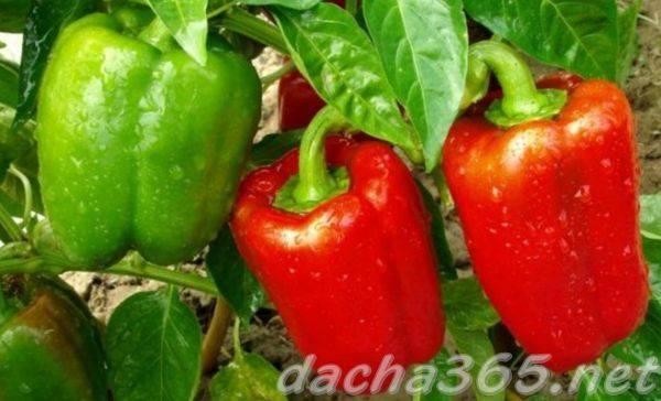 Перец богатырь — популярный сорт