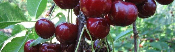 Морозовка — универсальный, зимостойкий сорт вишни