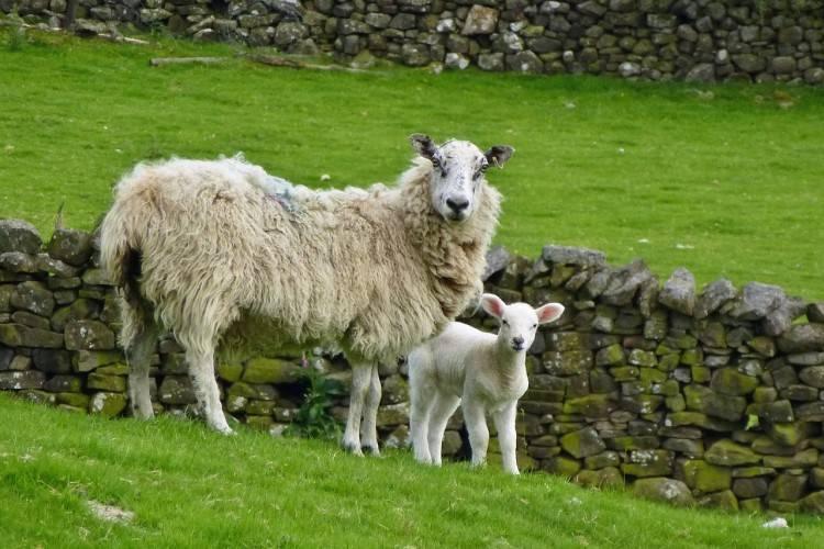 Как лечить овец от кашля