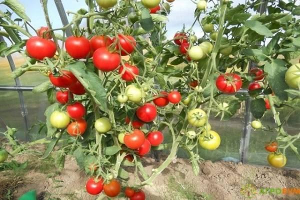 Томат бонсай: выращивайте хоть на подоконнике!