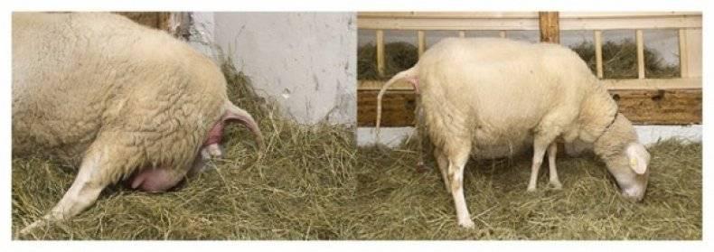 Почему коза перехаживает срок окота?