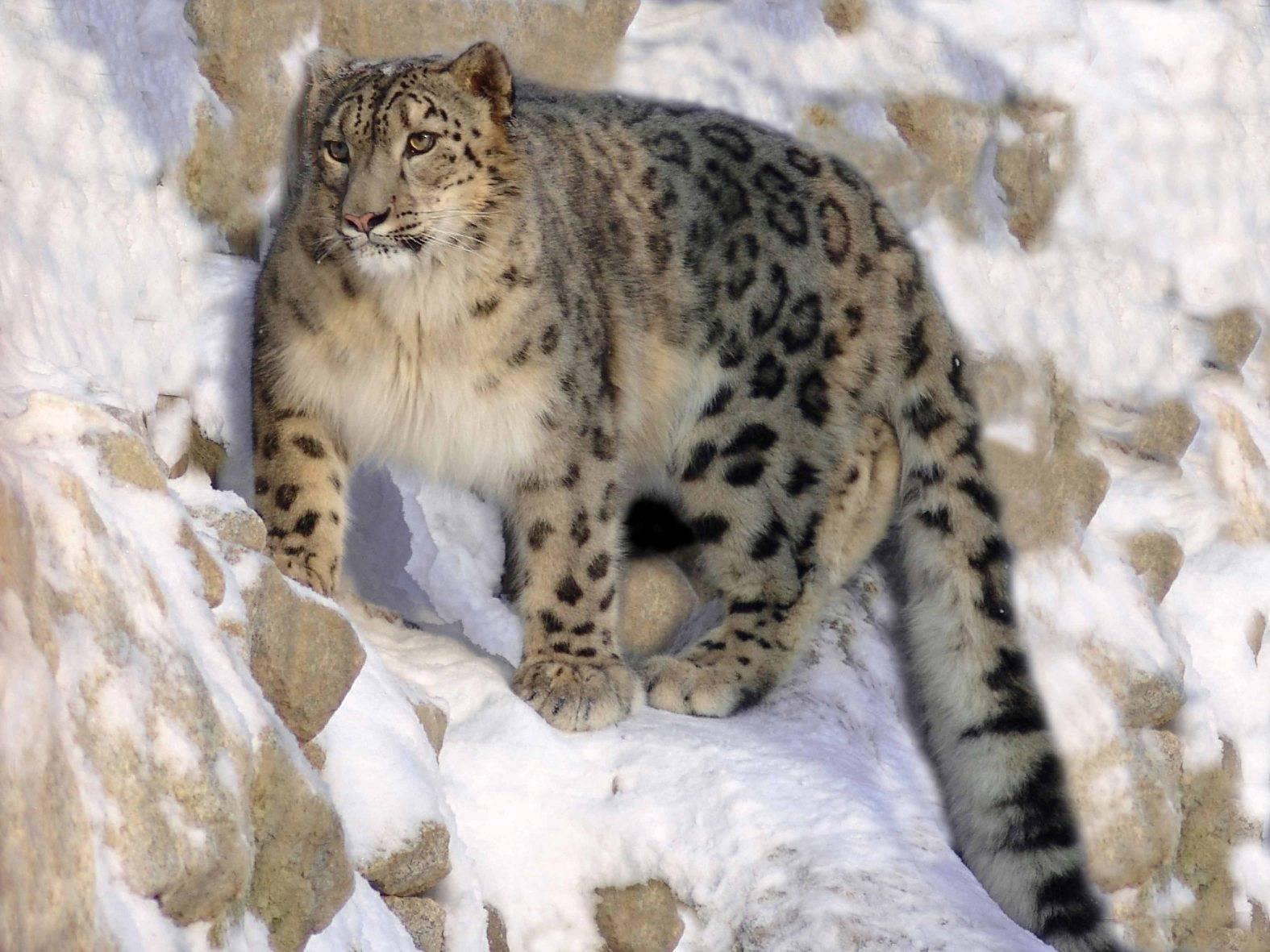 Снежный баран — описание, среда обитания, образ жизни