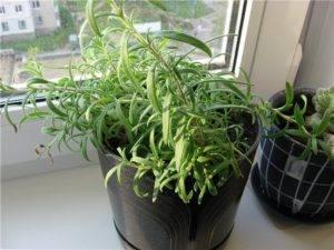Как правильно выращивать и ухаживать за розмарином в открытом грунте в средней полосе