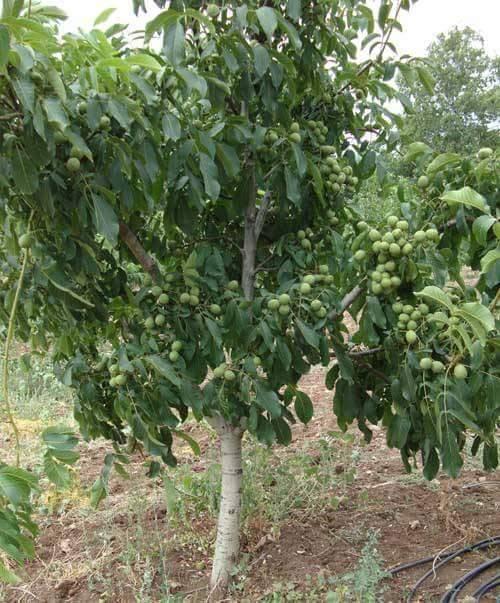 Урожайность грецкого ореха