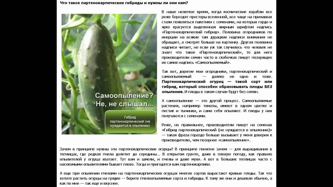 Пучковые огурцы — особенности сортов, нюансы выращивания